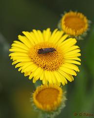 Apodia bifractella - Dark Fleabane Neb