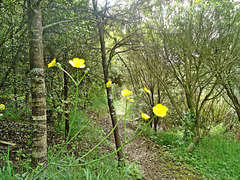 Buttercups in the bush
