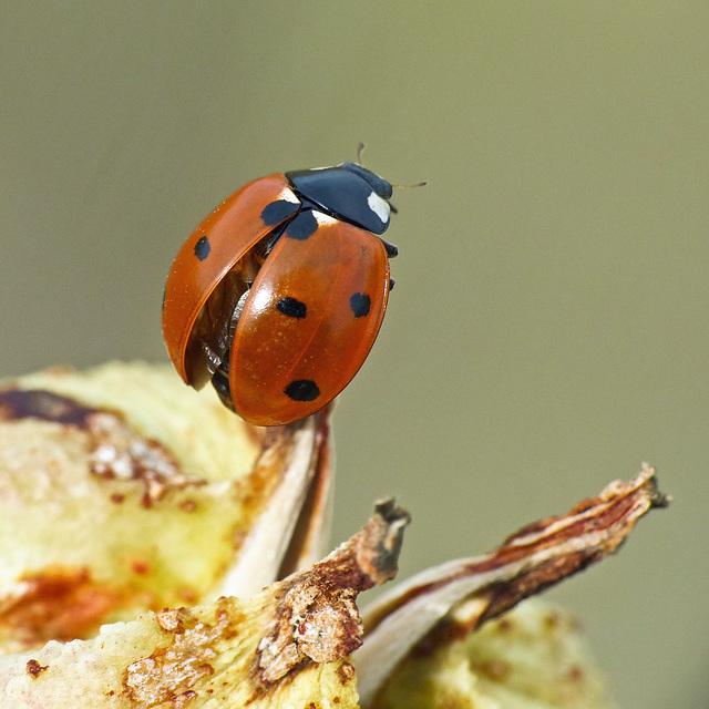Seven-spotted Ladybug on Yucca seedpod
