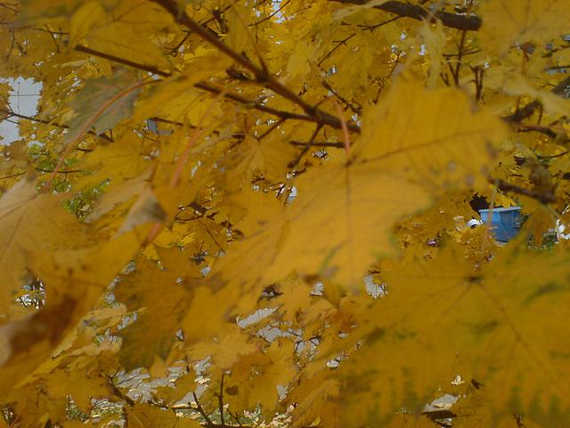 Jesienne złoto - Golden leaves -