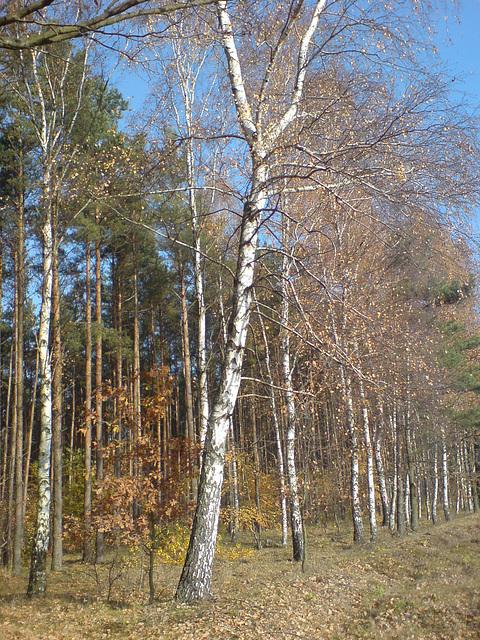 Brzozowa alejka - The birch-tree alley