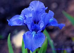 Blue Iris  031 Explore