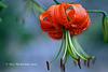 Lilium Lancifolium 003 copy
