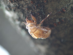 Skin of cicada left on a tree trunk