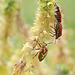 More Horehound bugs