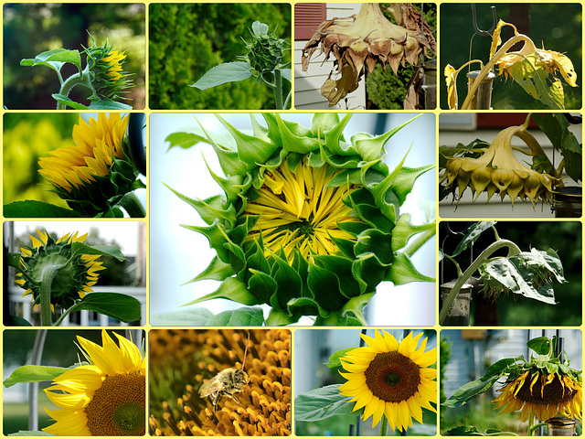 One Sunflower: A Collage