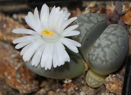 Lithops marmorata elisae (3)