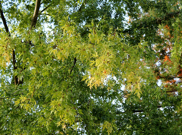 Acer saccharinum 'Wieri' lacinié