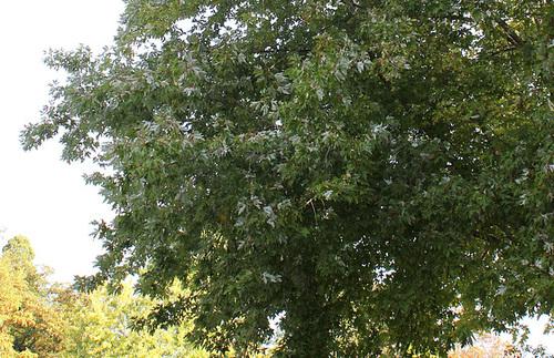 Acer saccharinum (3)