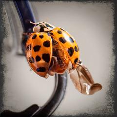 Ladybug Wingies!