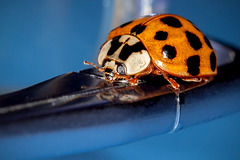Up Close and Personal with a Ladybug on my Glasses
