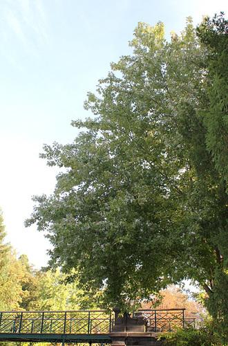 Acer saccharinum (2)