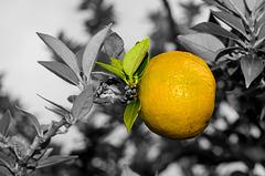 ARC ET SENANS: Saline: Une clémentine. ( Citrus clementina ).