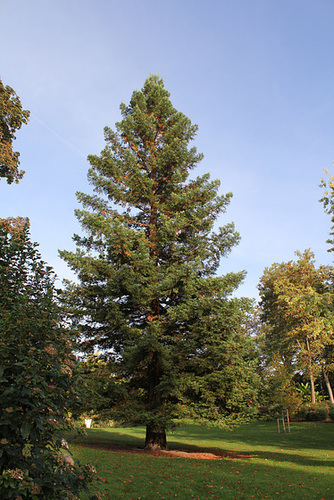 Sequoïa sempervirens