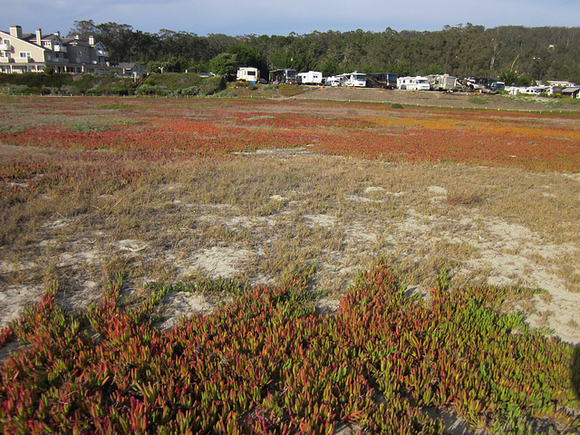 Autumn-Like Colors in Ice Plant Field at El Granada