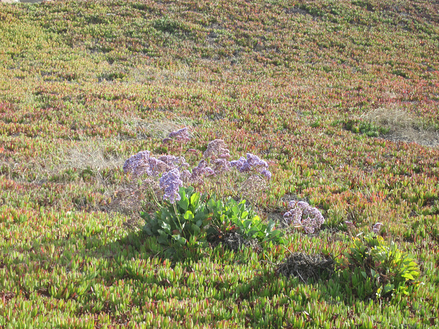 Lavender Out of Place in Ice Plant Field