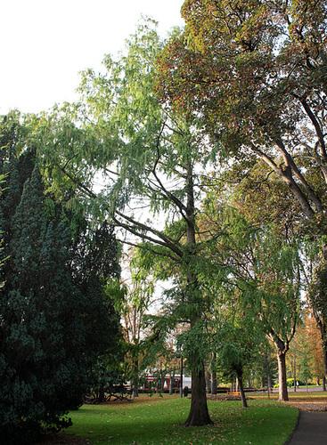 Metasequoia glyptostroboïdes - Metasequoia du Sichuan-002