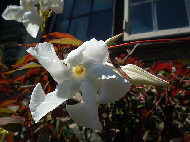 Interesting shape on the white petals.