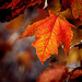 Burning Maple Leaf