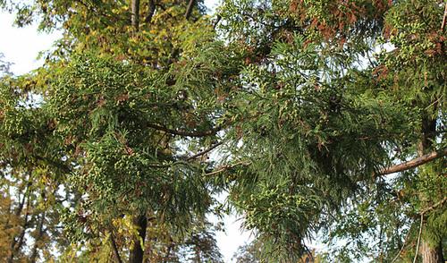 Cryptomeria japonica-001