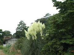 Pampas grass_Cortaderia selloana