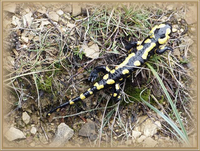 ...la jolie découverte en ramassant des champignons:une jolie salamandre ,qui s'apprête à hiberner...