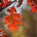 "Autumn White Oak ""Flower"""