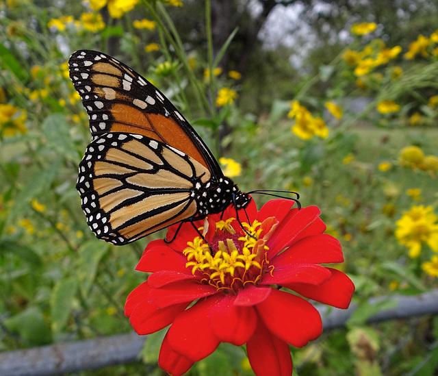 Monarch (Danaus plexippus)(f)