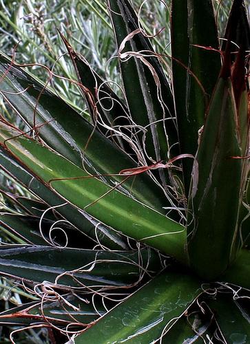 Agave filifera (4)