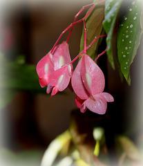 Begonia (2)