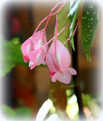 Begonia (3)