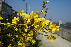 Fleurs jaunes : Forsythias