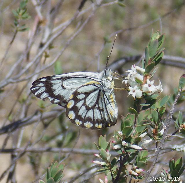 Belenois java (Caper White)