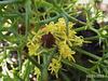 Isopogon ceratophyllus Flower (Horny Cone-bush)