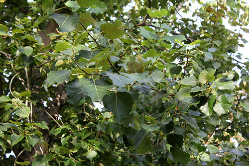 Populus x euamericana = x canadensis = nigra x deltoïdes