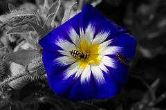 ARC ET SENANS (25): Une fleur, un syrphe, une mouche.