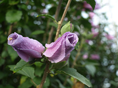 Rose of Sharon_Hibiscus syriacus