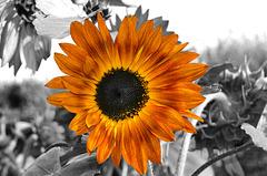 ARC ET SENANS: Un soleil...