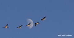La lune, et les bernaches