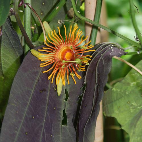 Passiflora 'Sunburst' (3)