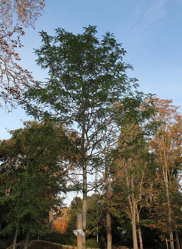 Gleditsia triacanthos- Févier d'Amérique