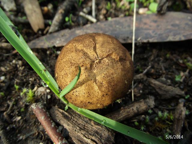Calvatia species (I  think!) Puffball