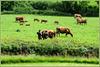 Kuhhandel bei Restormel Castle