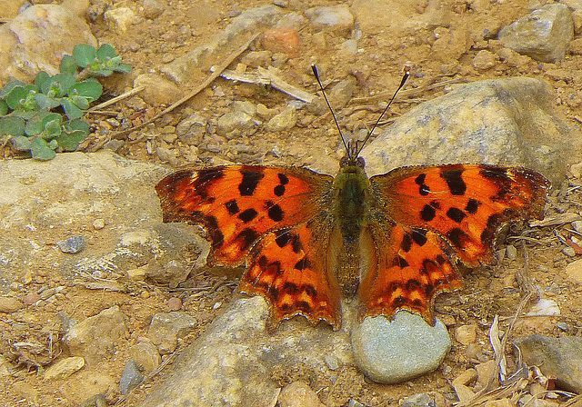 Papillon du chemin