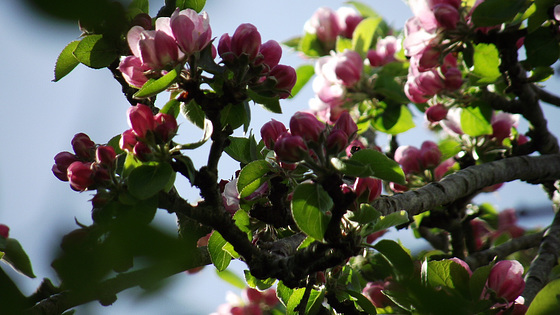 Super apple blossom predicting a glut of apples