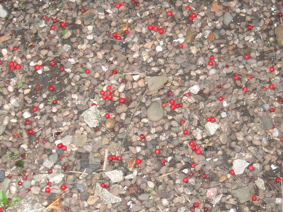 Dropped berries predicting a harsh winter ?