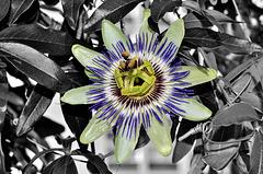BESANCON: Jardin botanique: Une Passiflore bleue (Passiflora caerulea).