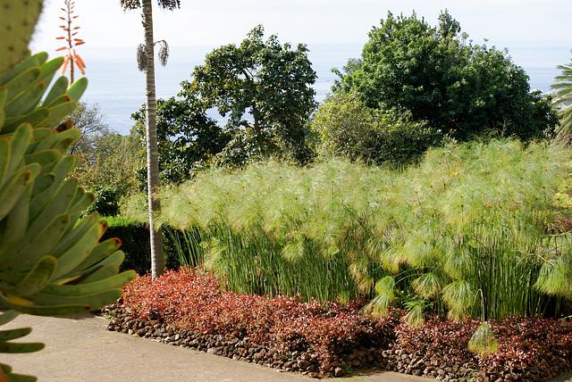 Madeira. Monte. Botanischer Garten. Papyruspflanzen ©UdoSm