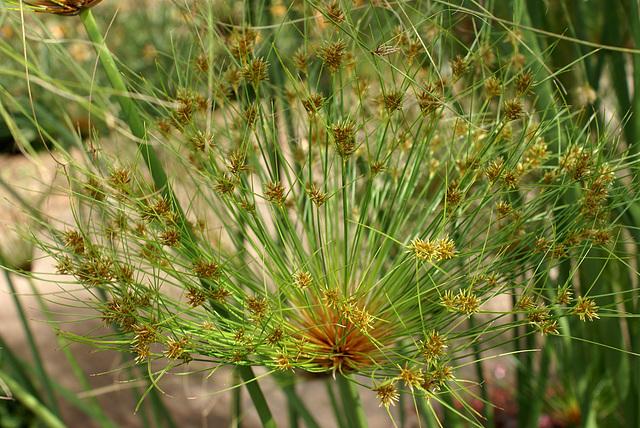 Monte. Papyrusblüten. ©UdoSm