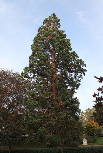 Sequoiadendron giganteum (2)